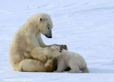 محبت خرس قطبی و نوازش فرزندش