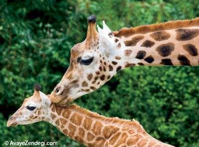 نوازش نوزاد زرافه توسط مادر