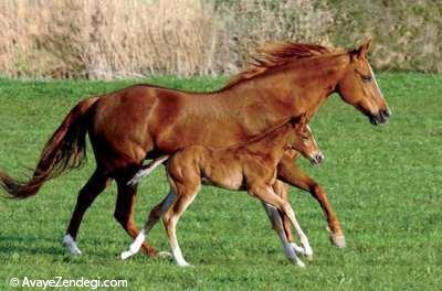 گردش اسبهای پدر و پسر