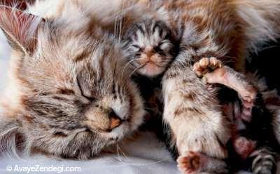 نوزاد گربه در آغوش پر مهر مادر