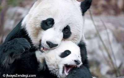 بازی کردن پاندای مادر با فرزندش