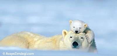 عشق واقعی خرسهای قطبی