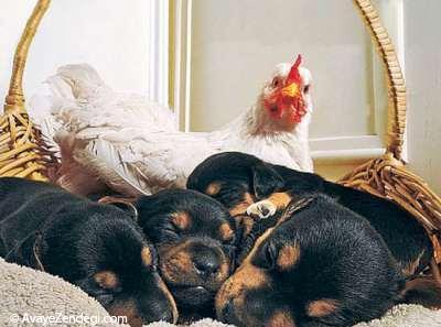عشق واقعی توله سگها و خروس