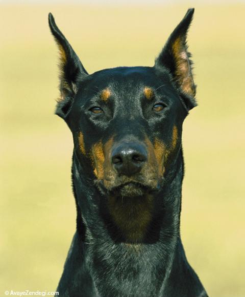 سگ نژاد دوبرمن