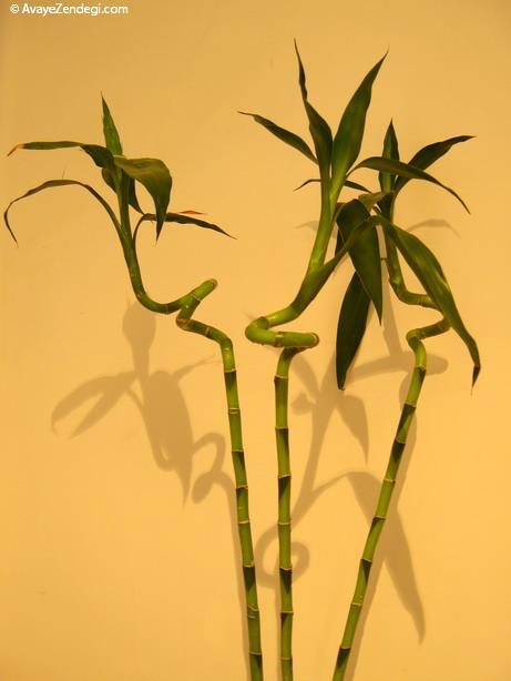 گیاه لاک بامبو و آموزش نگهداری از آن