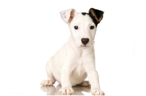 سگ نژاد جک راسل تریر