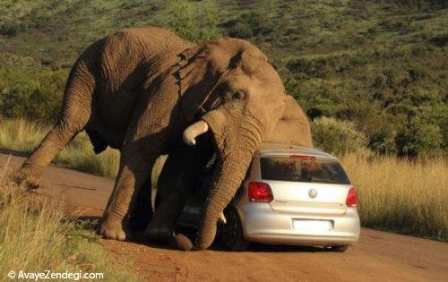 فیل خشمگین