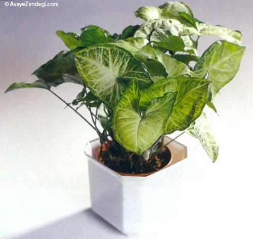 معرفی گیاه سینگونیوم
