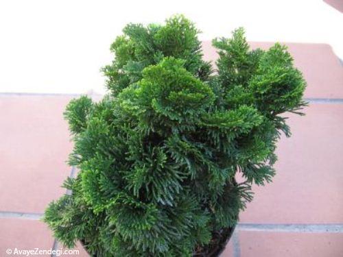 درباره گیاه زینتی نانا
