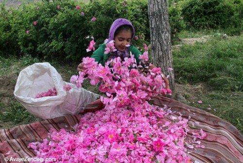 برداشت گل محمدی