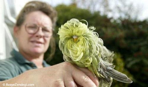 زیباترین و عجیبترین مرغ عشق دنیا