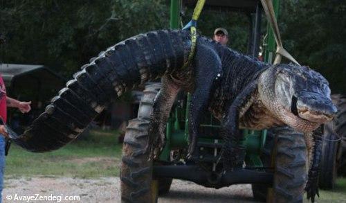 آیا این بزرگترین تمساح جهان است؟
