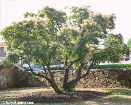 نگهداری درخت پر