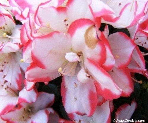 پرورش و نگهداری گل آزالیا (گل زینتی آپارتمانی)