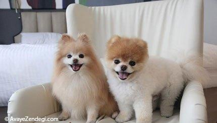 معروف ترین سگ دنیا(بو Boo)