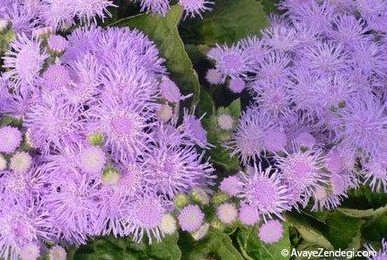 پرورش گل ابری(گل پشم)