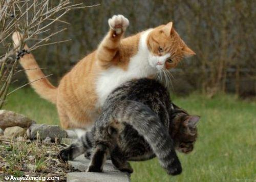 گربه های نینجا