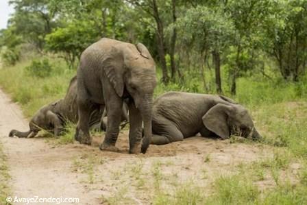 فیل های شنگول