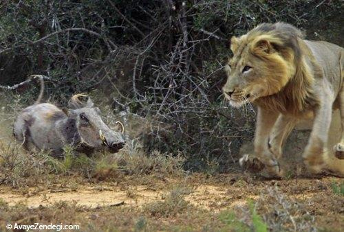 تصاویری از لحظه شکار یک شیر