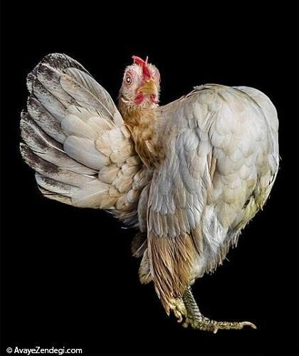 مرغ و خروس مغرور