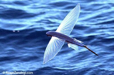 چرا ماهی های پرنده بال دارند؟