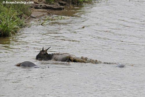 عکس های جالب از فداکاری اسب آبی