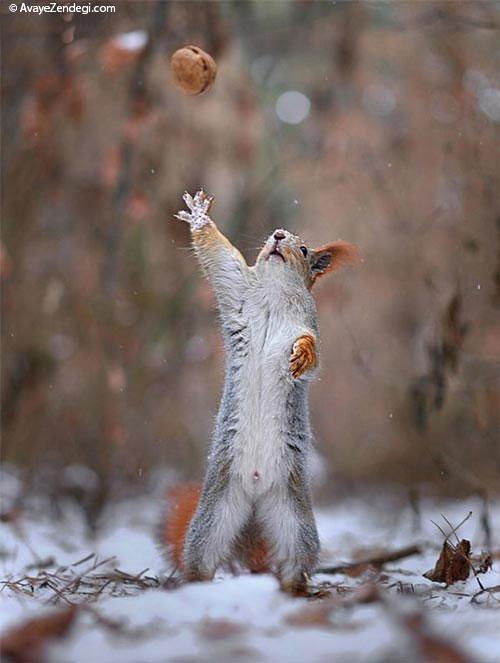 تصاویری زیبا از برف بازی سنجاب ها