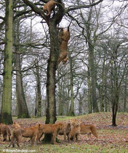 پریدن شیرها از روی درخت بلوط 9 متری