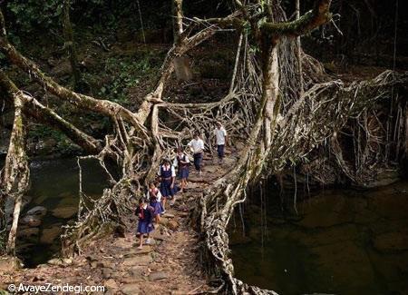 پلی از ریشه درختان زنده در هند