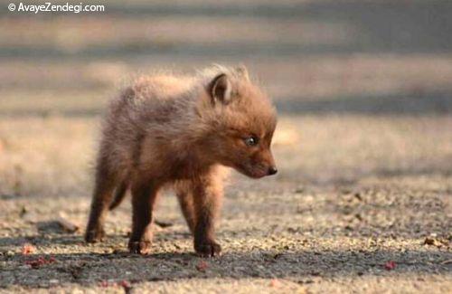 بچه روباه های زیبا در حیاط خلوت