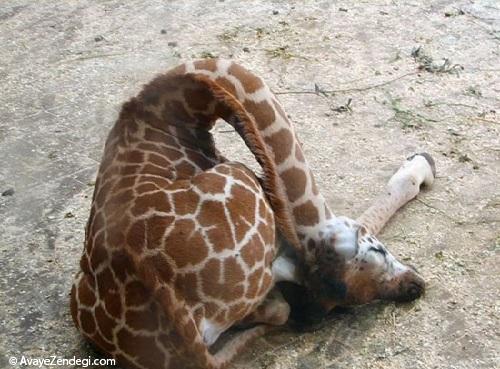 زرافه اینگونه میخوابد