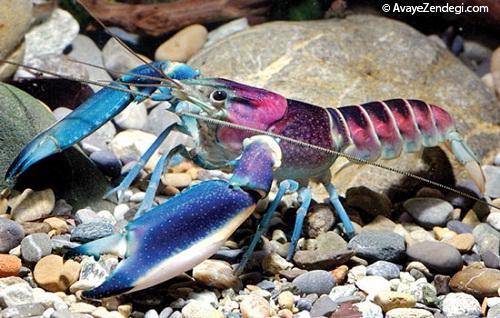 کشف گونهای جدید از خرچنگ در اندونزی