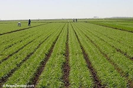 تولید نوعی کود کشاورزی از پسماند های نفت