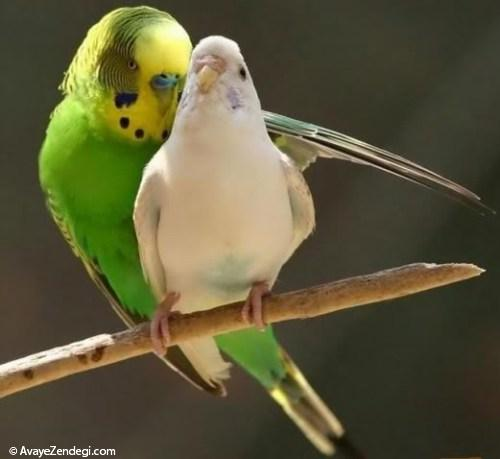 معرفی مرغ عشق، پرنده محبوب ایرانیان