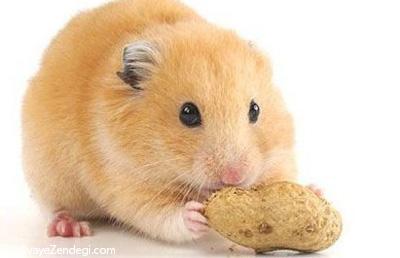 همه چیز درباره همسترها و روش نگهداری همستر در خانه