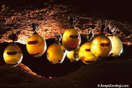 مورچۀ عسل را می شناسید!
