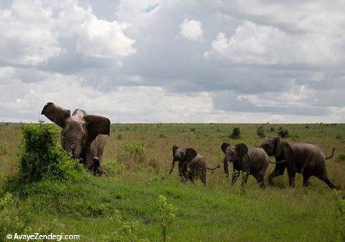 جدال سهمگین فیل و بوفالو!