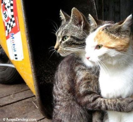 گربه ها عاشق می شوند!