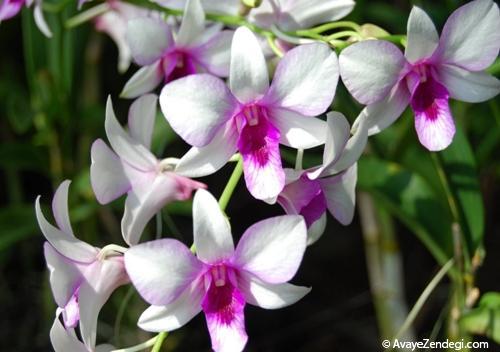 راهنمای نگهداری و پرورش گل ارکیده و ارکیده فالانوپسیس