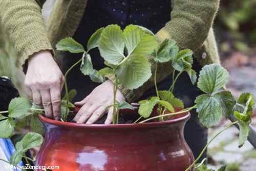 كاشت خلاقانه توت فرنگی در گلدان!