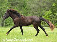 اسب نژاد کورلی